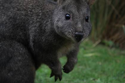 8 Pademelon`s released here at Pademelonpark